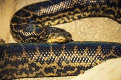 Fin de serpent de python vers le haut de tir Image libre de droits