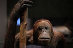 Fin de singe d'orang-outan  Photo libre de droits