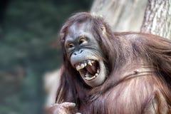 Fin de singe d'orang-outan vers le haut de portrait Photographie stock libre de droits