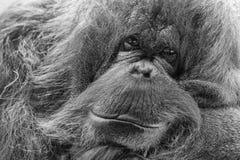 Fin de singe d'orang-outan vers le haut de portrait Image stock