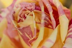 Fin de style doux de roses oranges avec l'utilisation de gouttes de rosée pour le fond, le ` s de valentine ou la carte de mariag photos stock