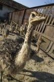 Fin de tête d'autruche de bébé dans la ferme d'autruche Autruches dans le pré à la ferme L'autruche drôle et étrange regarde dans photo libre de droits