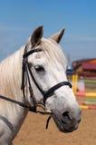 Fin de tête de cheval blanc  Photos stock