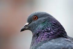 Fin de tête de pigeon  Images stock