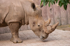 Fin de tête de rhinocéros vers le haut Images stock