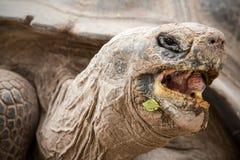 Fin de tête de tortue de Galapagos vers le haut d'angle faible Photographie stock