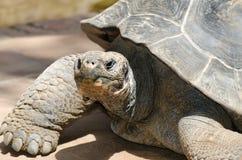 Fin de tête de tortue géante  Image libre de droits