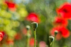 Fin de tête de pavot  Cosses de graine des fleurs de pavot Photos libres de droits