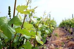 Fin de vignoble de Champagne dans les Frances Photo stock