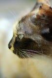 Fin de visage de chat vers le haut Photo libre de droits