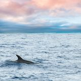 Fin of Dolphin swimming in Ocean. Fin of Common Dolphin swimming in Atlantic Ocean near Madeira Island is cloudy day, Portugal. Square photo Stock Image