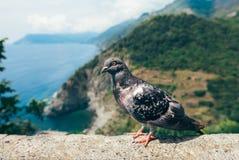 Fin drôle de pigeon en Italie Photo libre de droits