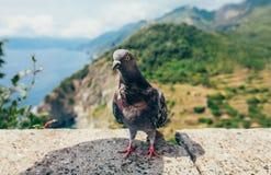 Fin drôle de pigeon en Italie Photographie stock libre de droits