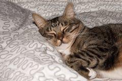 Fin drôle mignonne de chat, chat domestique, chat de détente Images libres de droits