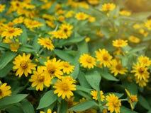 Fin dramatique vers le haut de beau petit divaricatum jaune de Melampodium de fleur d'étoile sur le fond vert de jardin photos stock