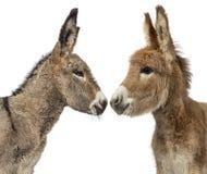 Fin du poulain d'âne de deux Provence d'isolement sur le blanc Photos libres de droits