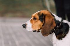 Fin extérieure de chien de chasse estonien vers le haut de portrait au jour nuageux Images libres de droits