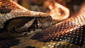 Fin extrême d'un python birman clips vidéos