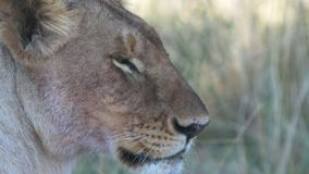 Fin extrême d'une lionne dans Masai Mara banque de vidéos