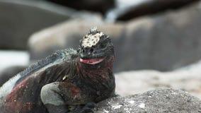 Fin extrême de l'iguane marin ouvrant sa bouche dans Galapagos banque de vidéos
