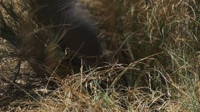 Fin extrême de tronc d'éléphant comme il alimente dans la réservation de jeu de Mara de masai banque de vidéos