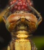 Fin extrême vers le haut de tête de mouche de dragon sur le fond brouillé images stock