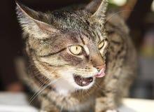 Fin fâchée de chat, portrait de chat Photo stock