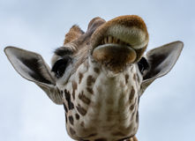 Fin fâchée de girafe  Images libres de droits