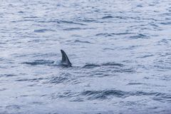 Fin of female Killer whale Norway Stock Photography