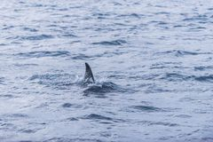 Fin of female Killer whale Norway Stock Image