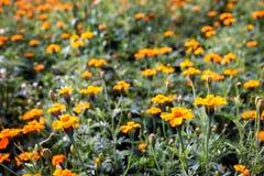 Fin fleurissante orange de beaucoup de soucis  images libres de droits