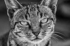 Fin furieuse de profil d'avant de chat  Photo stock