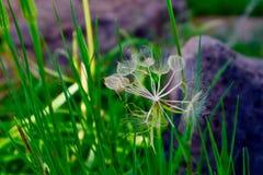 Fin géante de pissenlit haute et une certaine herbe images libres de droits