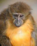 Fin gonflée d'or de singe de mangabey regardant vers le haut Photos libres de droits