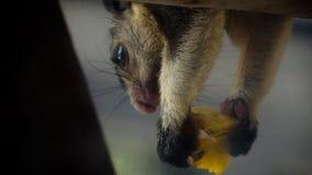 Fin gourmet pour l'écureuil géant grisonnant photo stock