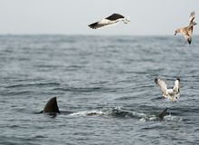 Fin of a Great white shark and Seagulls. Fin of a white shark and Seagulls eat oddments from prey of a Great white shark (Carcharodon carcharias Stock Image