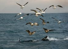 Fin of a Great white shark and Seagulls Royalty Free Stock Image