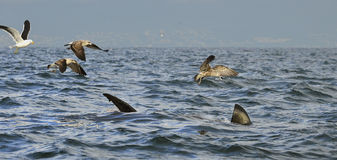 Fin of a Great white shark and Seagulls Royalty Free Stock Photography