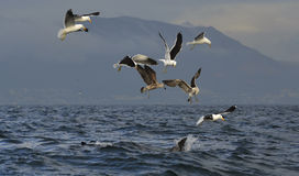 Fin of a Great white shark and Seagulls Stock Images