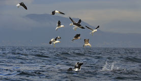 Fin of a Great white shark and Seagulls Stock Photography