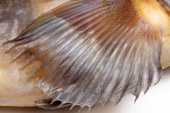 Fin greenling. On white background Royalty Free Stock Photo