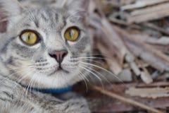 Fin grise de chat tigré  Photographie stock libre de droits