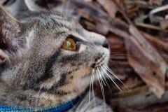 Fin grise de chat tigré  Photo stock
