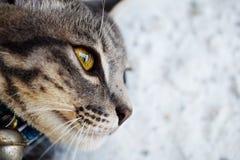 Fin grise de chat tigré  Images stock