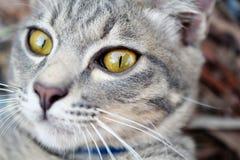 Fin grise de chat tigré  Images libres de droits