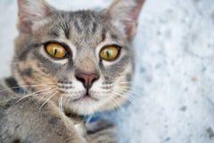 Fin grise de chat tigré  Image libre de droits