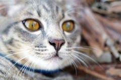 Fin grise de chat tigré  Photographie stock