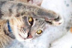 Fin grise de chat tigré  Photo libre de droits
