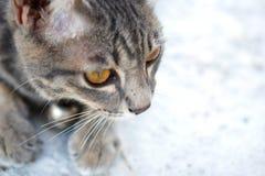 Fin grise de chat tigré  Photos stock