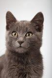 Fin grise de chaton vers le haut de chat fumeux sur un fond blanc Foyer sur e Photo libre de droits